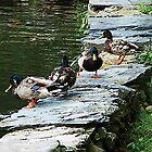 Ducks by Pond by Susan Savad