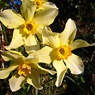 Lake District Daffodils by ellismorleyphto