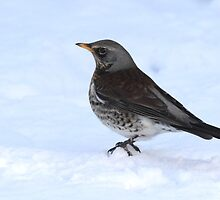 Fieldfare by Neil Ludford