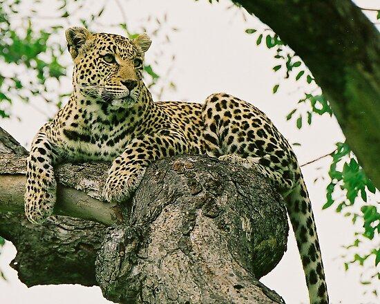 Wild leopard by Alexa Pereira