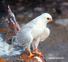 White Falcon by Pam Moore