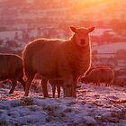 Glowing sheep by Margaret Brown