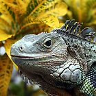 iguana by Johnny Furlotte