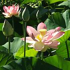 Waterlily (4164) by ScenerybyDesign