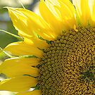 Sunflower by Alicia  Liliana