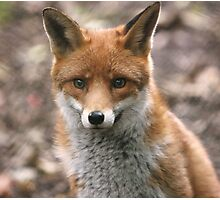 Red Fox Photographic Print