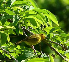 Yellow Bird - Martinique, FWI by Olivia Son