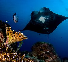 Manta in Coral Reef by Carlos Villoch