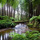Redwood Forest Stream by Matt  Streatfeild