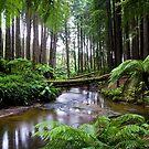 Redwood Forest Stream by Matt  Streatfeild
