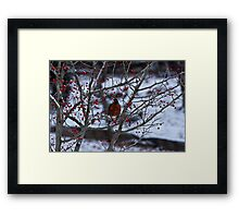 Robin and Red Berries--Riverside Park NYC In Snow Framed Print