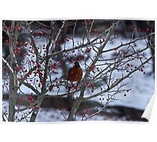 Robin and Red Berries--Riverside Park NYC In Snow Poster