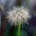 Murnong Yam Daisy - Microseris lanceolata by Mereki