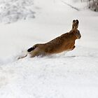 Hare Today... by dsargent