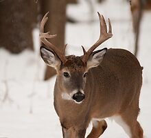 White Tail Buck by JimGuy