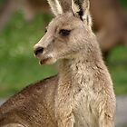 Eastern Grey Kangaroo - Cardinia Reservoir, Victoria by James Millward