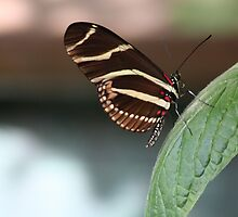 Zebra Longwing Butterfly by April-in-Texas