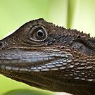 Eastern Water Dragon - Physignathus lesueurii by Calelli