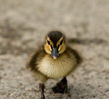 Duckling by andrewfoster