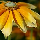 Yellow petals by JaimeWalsh