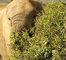 Addo Elephant South Africa by Sturmlechner