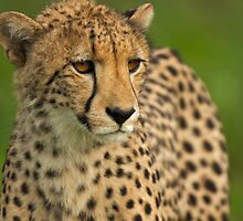 Cheetah by Andrew Doggett