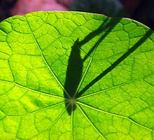 Nasturtium leaf sundial:  time flies by Meredith Wickham