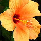 Flaming hibiscus by Maria1606