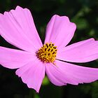 Pink cosmos flower by Maria1606