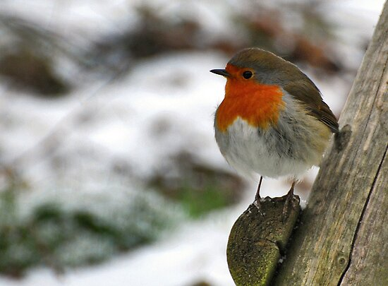 A guest in our garden: Robin by Adri  Padmos