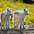 Pair of Arctic Wolves - Montebello, Quebec  by Michael Cummings