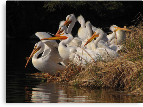 A Squadron of Pelicans by Lee-Anne Carver