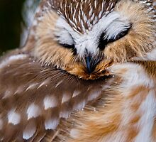 Northern Saw Whet Owl - Ottawa, Canada by Michael Cummings