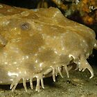 Spotted Wobbegong by Andrew Trevor-Jones