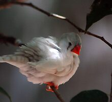 Whitie the Finch - NSW by CasPhotography