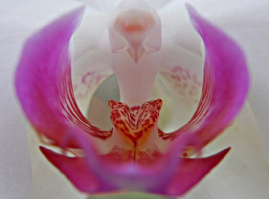 Inside of the Orchid by LauraBroussard