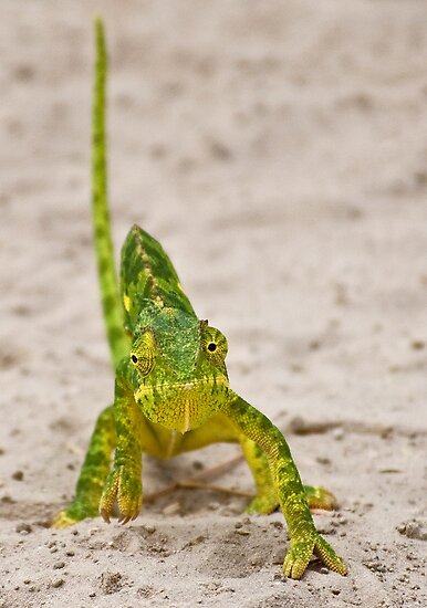 Flap-necked Chameleon (Chamaeleo dilepis) by Konstantinos Arvanitopoulos