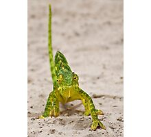 Flap-necked Chameleon (Chamaeleo dilepis) Photographic Print