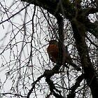 """Alaskan Robin"" by rferrisx"
