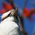 kookaburra by Route64