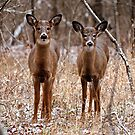 Pair of young deer - Ottawa, Ontario by Michael Cummings