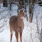 Deer Doe  in Winter - Ottawa, Ontario by Michael Cummings