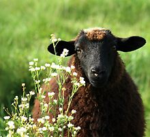 Have you any wool? by Lori Deiter