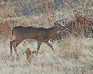 Stalking Buck by Rodney55