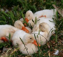 Snuggling Ducklings by Kylie  Sheahen