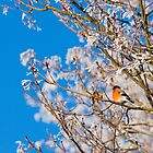 Bullfinch by Mariann Rea
