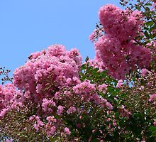 Crepe Myrtle by PhotosByG