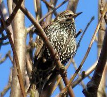 Birdsong by JacquiK