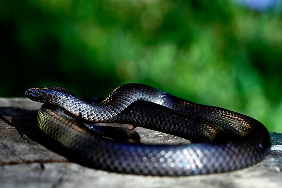 Eastern Small-eyed Snake Cryptophis nigrescens by Normf