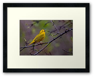 Male Yellow Warbler Singing - Mud Lake, Ottawa, Ontario by Michael Cummings